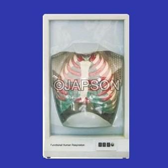 Functional Human Respiratory System