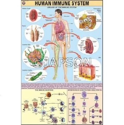 Human Physiology Charts, School Education