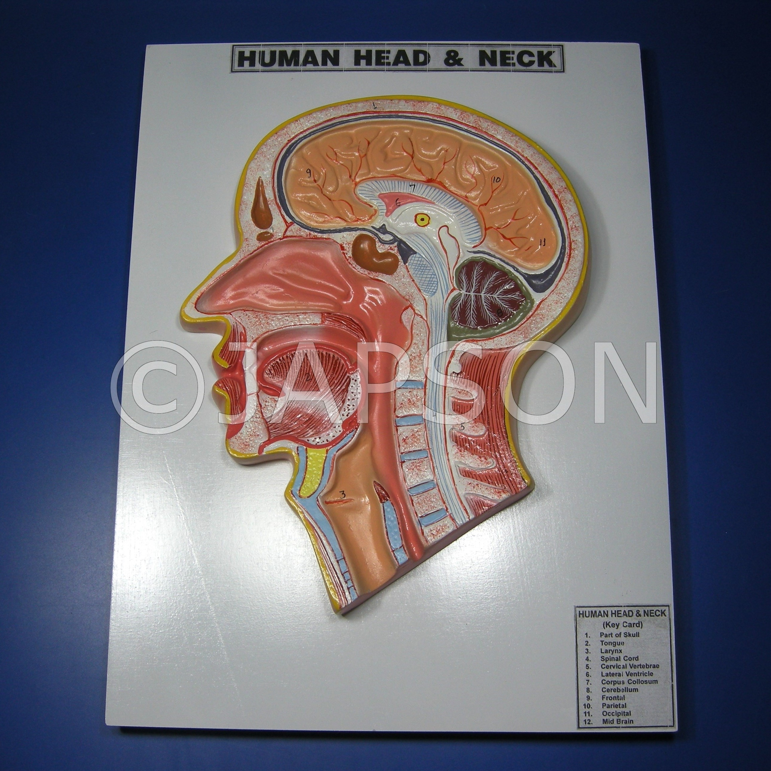 Human Head and Neck Model