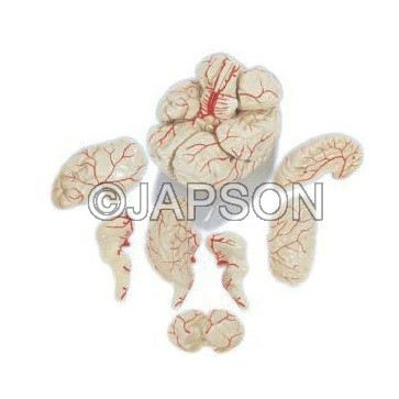 Human Brain Model with Arteries, PVC, 8 Parts