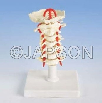 Human Cervical Spinal Column Model