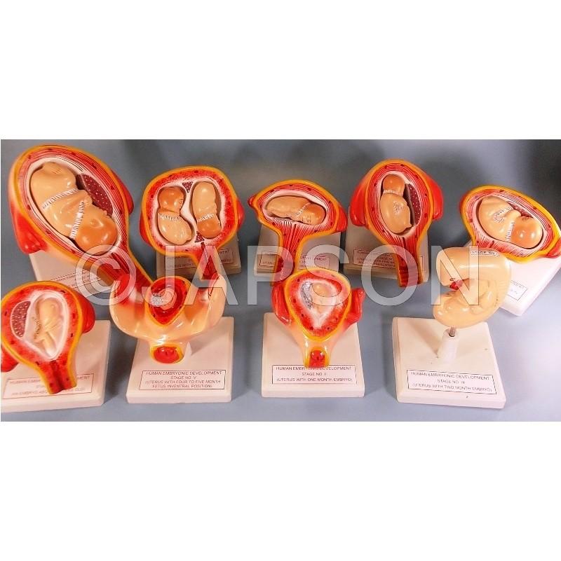 Human Embryo Development Set
