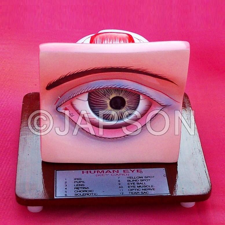 Human Eye Model with Eyelids