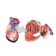 Human Heart, Jumbo