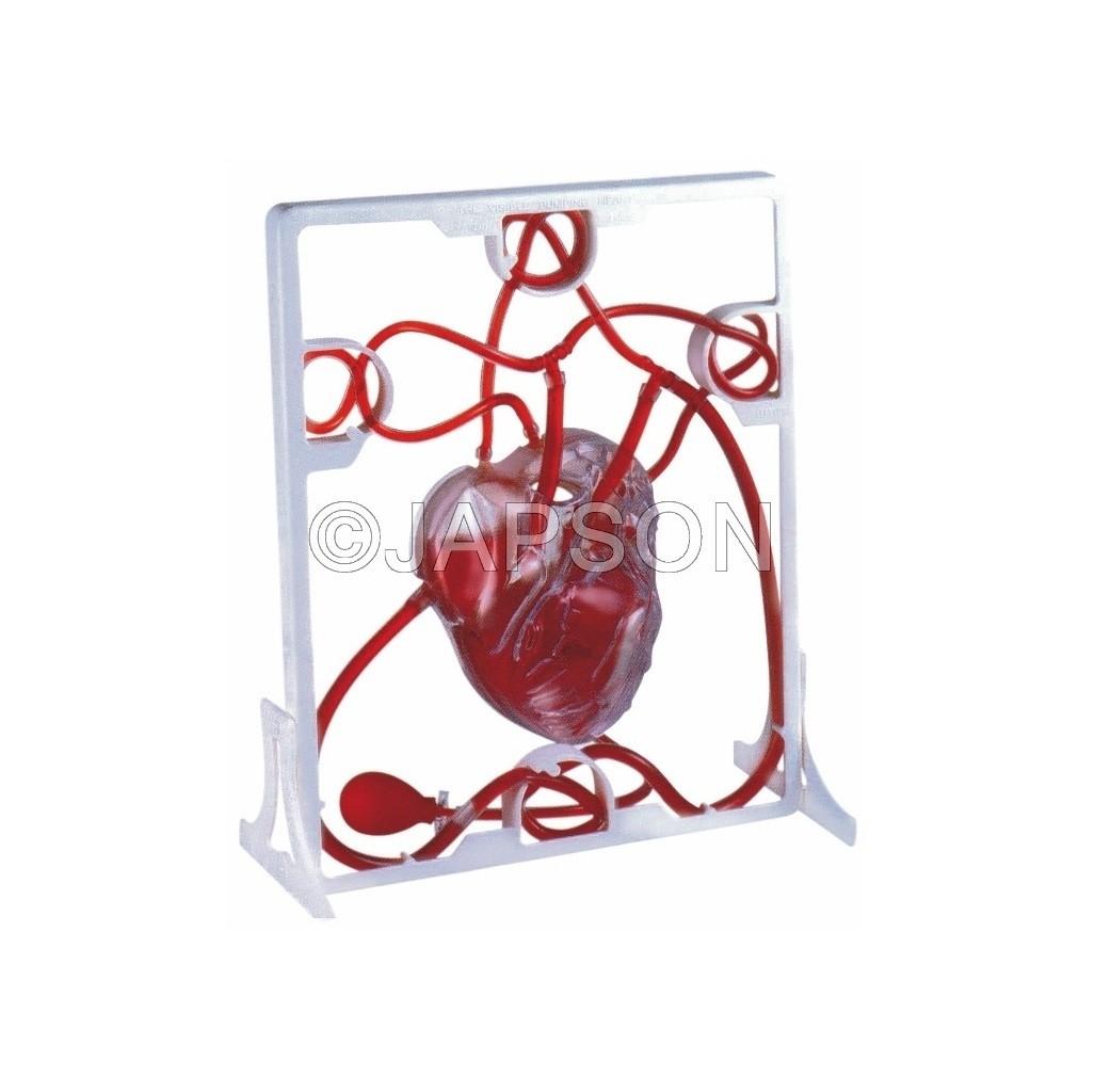 Human Heart, Pumping
