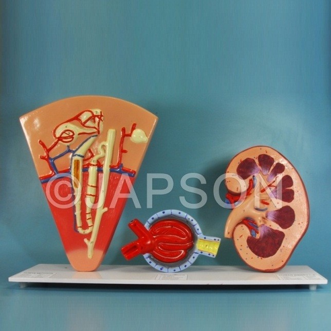 Human Kidney Structures, Free Standing