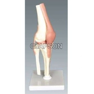 Human Knee Joint Model, Small