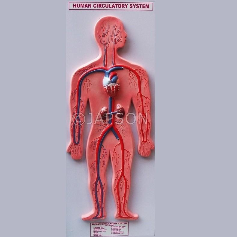 Human Model, Circulatory System
