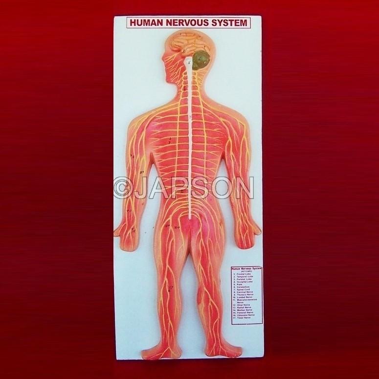 Human Model, Nervous System