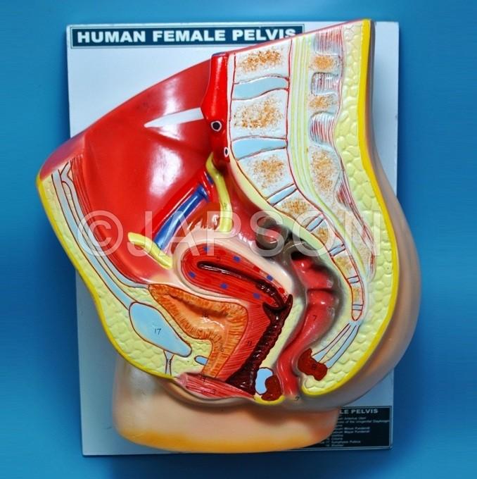 Human Pelvis, Female