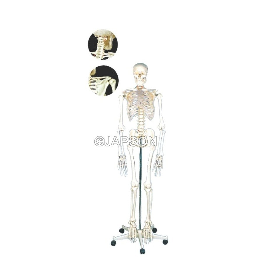 Human Skeleton Model, PVC, Life Size