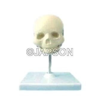 Human Skull Model, Fetal Child