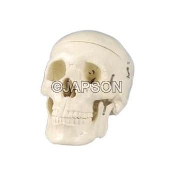 Human Skull Model, Plastic