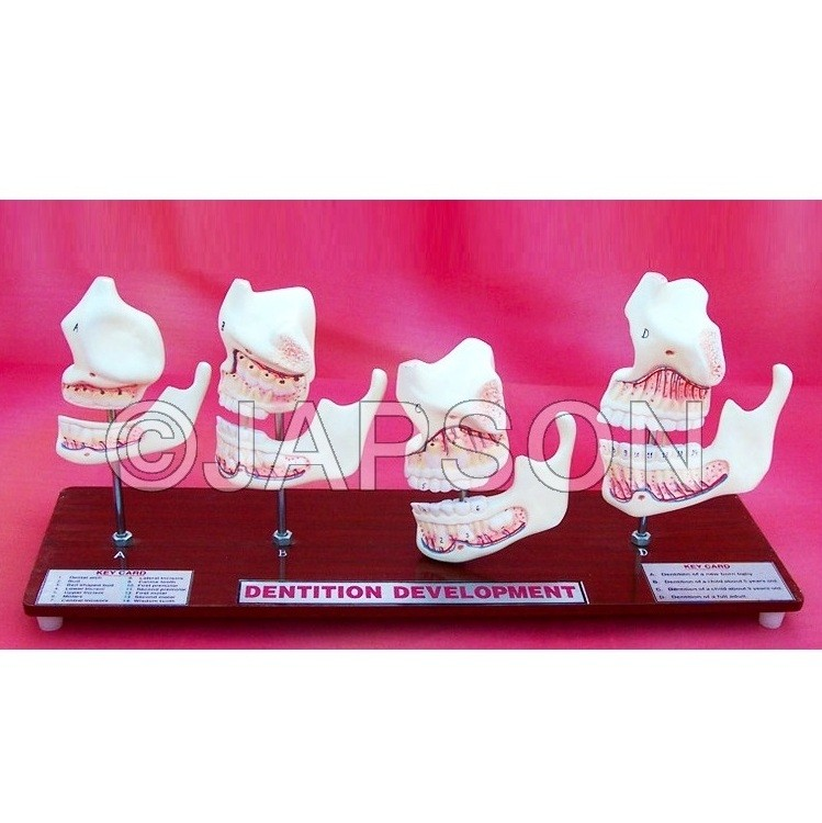 Human Teeth Model, Dentition Development on Stand