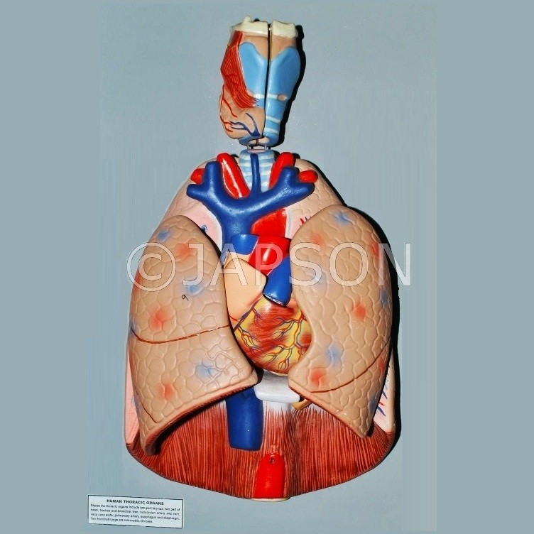 Human Thoracic Organs Model