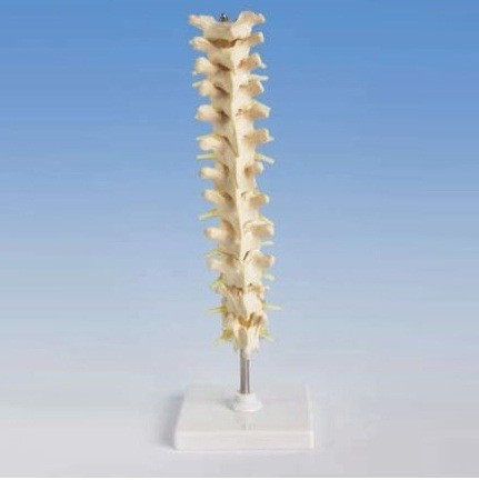 Human Thoracic Spinal Column Model