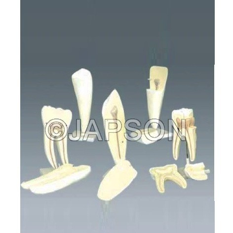 Human Tooth Set