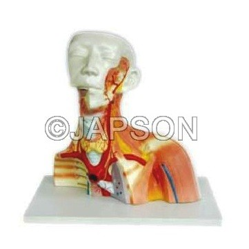 Model Of Human Cranial Cavity Head, Neck And Thorax