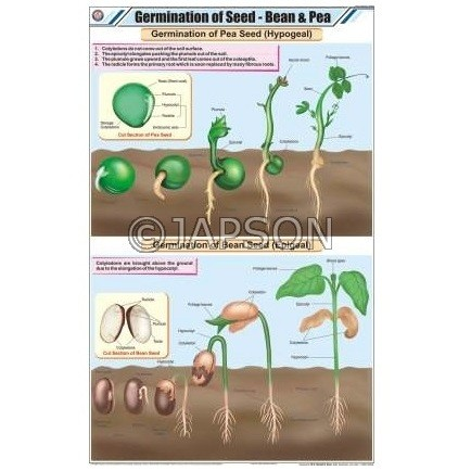 Seeds Charts, Botany, School Education