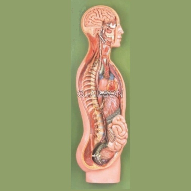 Sympathetic Nervous System