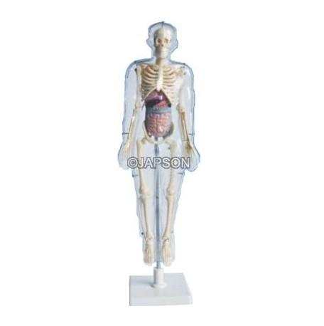 Transparent Human