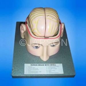 Human Brain Model in Head
