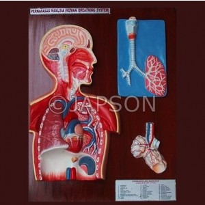 Human Breathing System