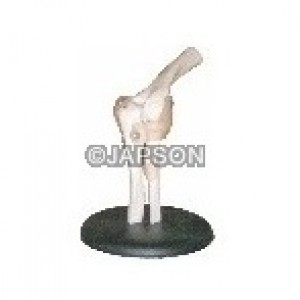 Human Elbow Joint Model