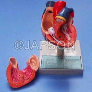 Human Heart, 2 Parts