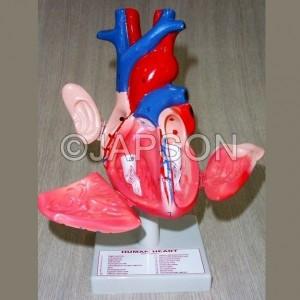 Human Heart, 3 Parts