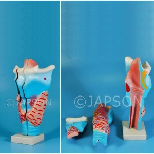Human Larynx, Full Size 3 Parts