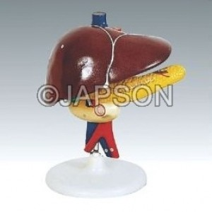 Human Liver Pancreas And Duodenum