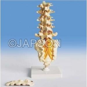 Human Lumbar Spinal Column Model