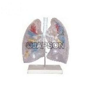 Human Lung Segment, Transparent