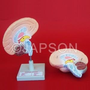 Human Model, Brain