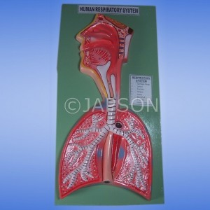 Human Model, Respiratory System