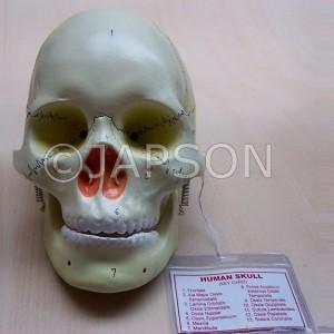 Human Model, Skull