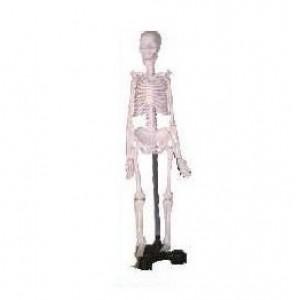 Human Skeleton Model, Mini