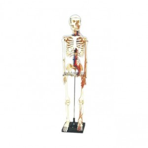 Human Skeleton Model, Painted, Medium