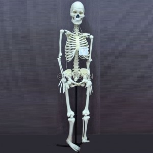 Human Skeleton Model with/without Stand