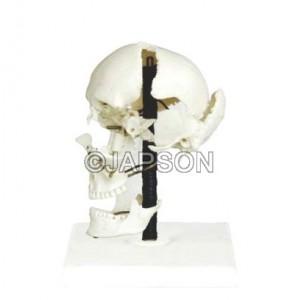 Human Skull Bones Model
