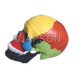 Human Skull Model, Life Size Coloured