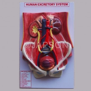 Human Urinary System (Deluxe)