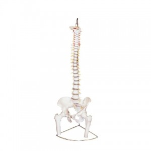 Human Vertebral Model With Pelvis & Femur Heads