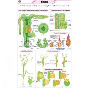 Hydra Chart, Zoology, School Education