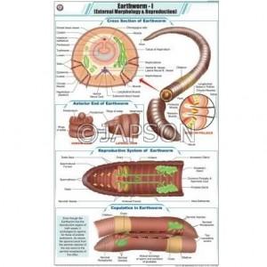 Worm Charts, Zoology, School Education