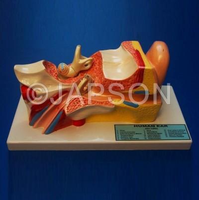 Human Ear Model, 4 Parts, Superior
