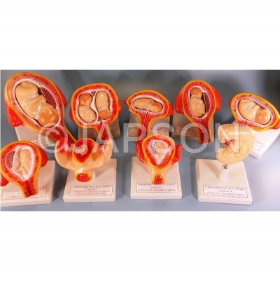 Human Embryo Development Set