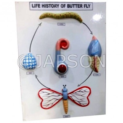 Model, Life History of Butterfly
