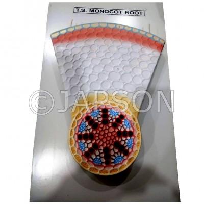 Model, T. S. Monocot Root